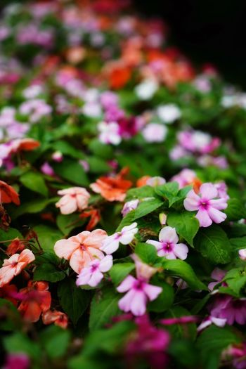 Flowering Plant Flower Plant Beauty In Nature Freshness Fragility Vulnerability  Growth Petal Pink Color Flower Head Nature Inflorescence Close-up Selective Focus No People Plant Part Botany Day Leaf Outdoors Springtime