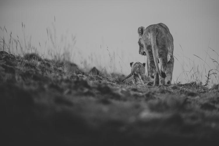 Animal Themes Animals In The Wild Blackandwhite Cub Eyelevel Lion Lion - Feline Mammal Masai Mara Nature No People Outdoors Plain Safari Animals First Eyeem Photo