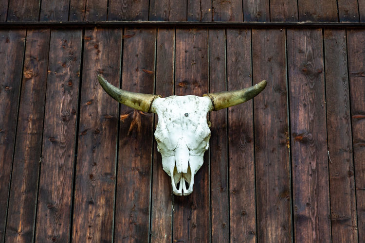 Cow skull on the wood wall of a cabin as a trophy in feichten