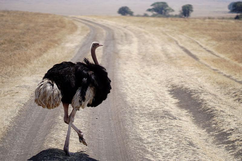 Ostrich bird on land crossing road