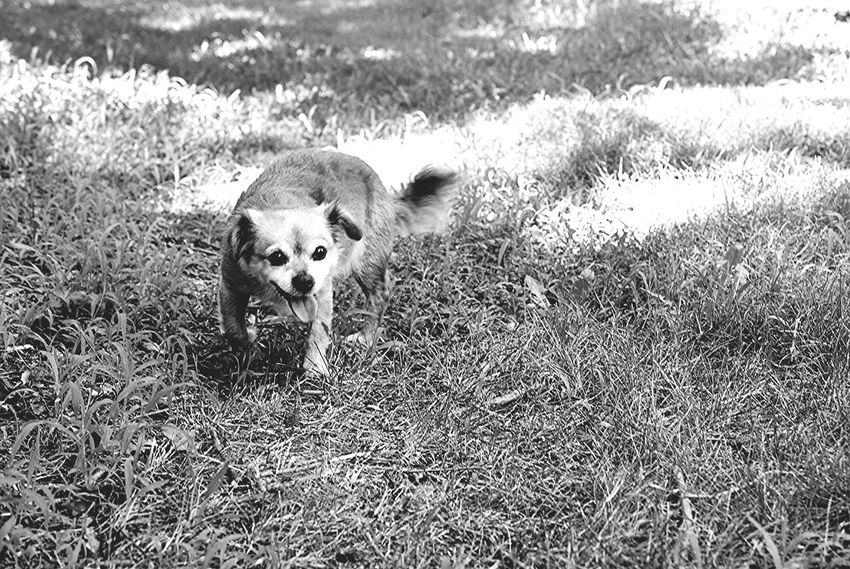 Shades Of Grey Dog Small Dogs  Black & White Monochrome Taking Photos Black And White