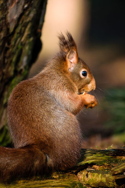 Red Squirrel Nature Nature On Your Doorstep Red Squirrel Squirrel Squirrel Park WoodLand Animal Themes Animal Wildlife Animals In The Wild Close-up Cute Day Eating Food Formby Furry Mammal Nature No People One Animal Outdoors Rodent Sitting Squirrel