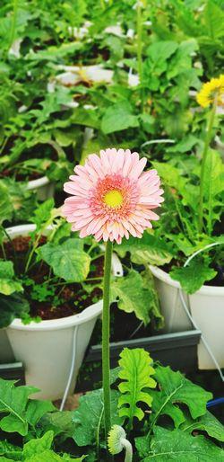 Pink Sunflower Sunflower Flower Head Leaf Front Or Back Yard Springtime Plant Green Color