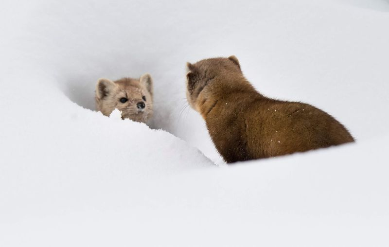 Close-up of pine martens in snow