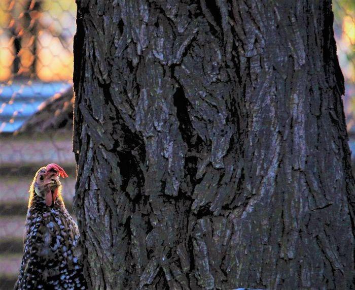 Chook Pen Animal Behaviour Bird Agriculture Feathers Of A Bird Domestic Animals Ancona Farm Avian Pets Chickens Chooks Close-up