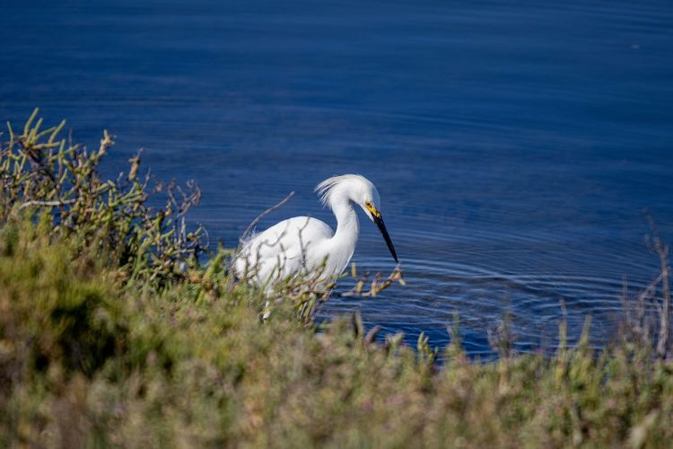 snowy egret by water Animal Wildlife Animal Themes Animal Animals In The Wild Vertebrate Bird One Animal Water No People White Color Sea Nature Day Selective Focus Egret Beauty In Nature Grass Outdoors Snowy Egret White Bird Large Bird Seabird Bolsa Chica Wetlands Ecological Reserve