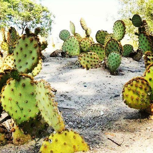 Nevada cactus! Nevada Cactus Vegas  Vegastouring sand dessert green rocks