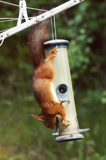 Red squirrel on bird feeder