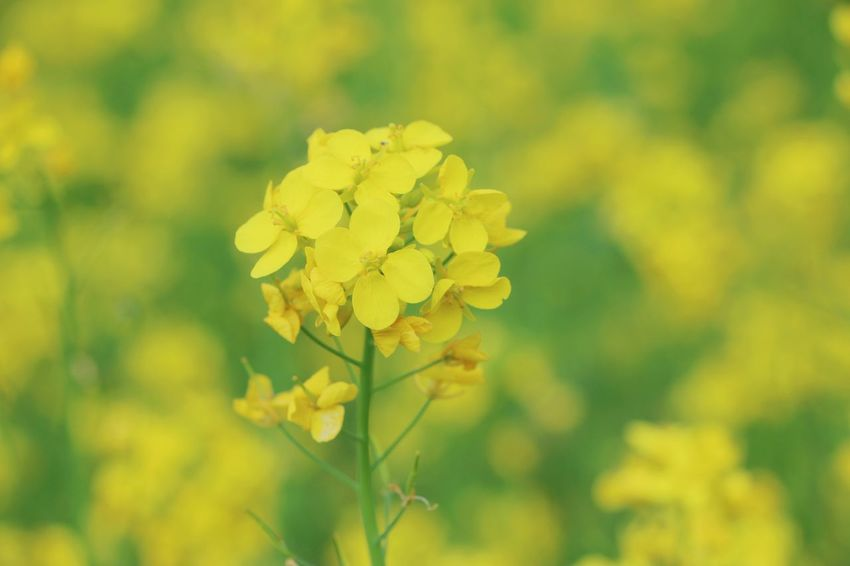 Yellow Flower Nature Plant Outdoors Rural Scene No People Landscape Summer Day Close-up Agriculture Plant Part Beauty In Nature Photography Themes Freshness Flower Head