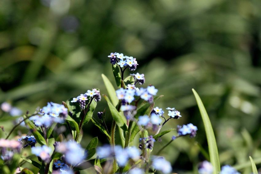 Flowers Forget Me Not Blue Flowers Green Grassy Selective Focus Bokeh No People Spring Flowers