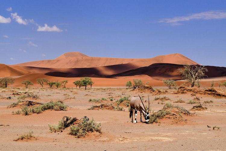 Oryx grazing against sand dunes