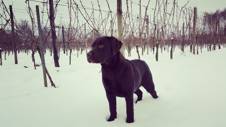 Chocolate labrador by fence on snow covered field