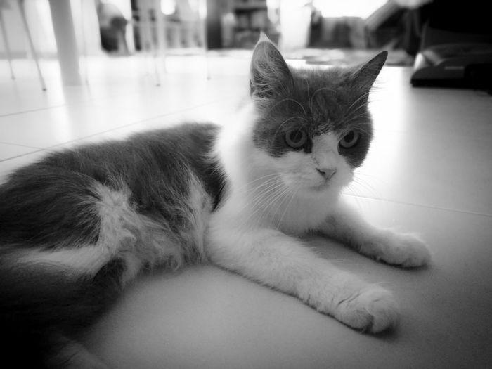 Pet Portraits Cat Blackandwhite Indoors  Cute Domestic Cat Pets Animal Themes Portrait