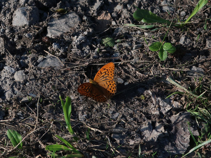 High angle view of butterfly on dry leaves on field