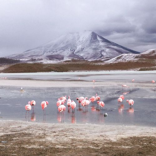 """Flamigo-Party"" Flamingo Bird Snow Colony Water Winter Wilderness Area Animal Themes First Eyeem Photo"