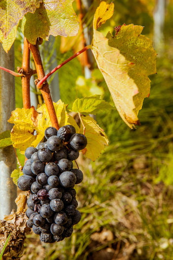 Agriculture Food Food And Drink Freshness Fruit Grapes 🍇 Nature No People Red Grapes Vineyard Wine Fields