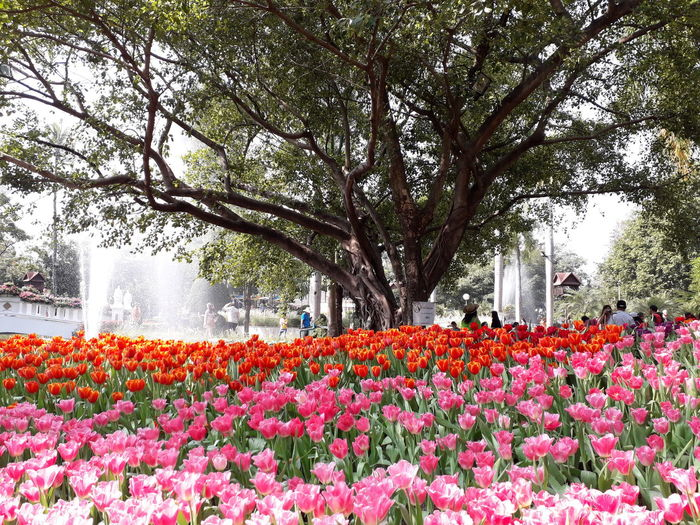 beautiful tulips field Flower Head Tree Flower Flowerbed Springtime Sky Plant Blooming Poppy Garden Stamen Pollen Black-eyed Susan Botany Stem In Bloom Plant Life Coneflower Pistil Hibiscus Day Lily Spring Botanical Eastern Purple Coneflower Daisy Cosmos Flower Lily Blossoming  Foliage Passion Flower