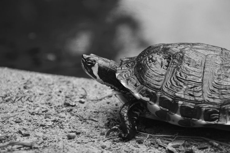 Burcina's Park Reptile One Animal Animal Wildlife Animal Themes Animal Turtle Animals In The Wild Vertebrate Animal Shell Shell Tortoise No People Focus On Foreground Close-up Nature Selective Focus Animal Body Part Side View Tortoise Shell Day Animal Head  Marine