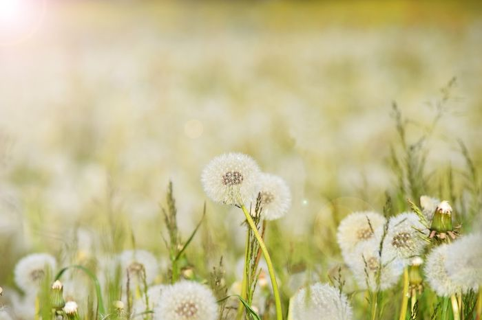 Flower Nature Fragility Growth Dandelion Plant Beauty In Nature White Color Flower Head Field Uncultivated Wildflower Focus On Foreground Freshness No People Outdoors Close-up Day Löwenzahnwiese Frühling Pusteblumen