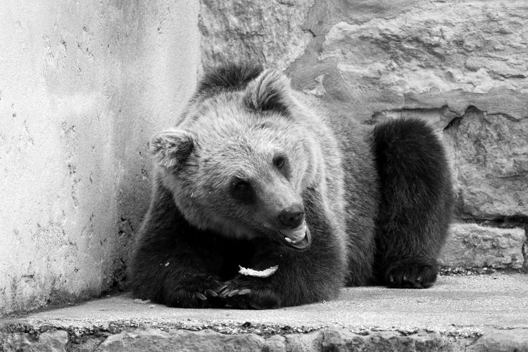Portrait Of Grizzly Bear Resting Against Wall In Zoo