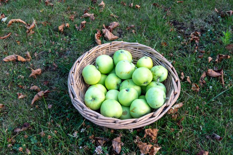 High angle view of apples in basket on field