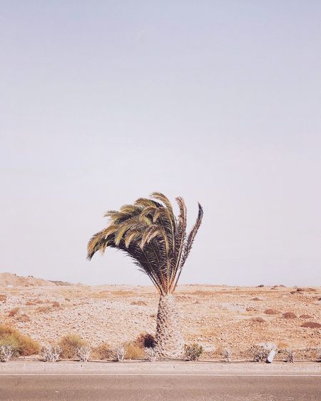 Palm tree against clear sky