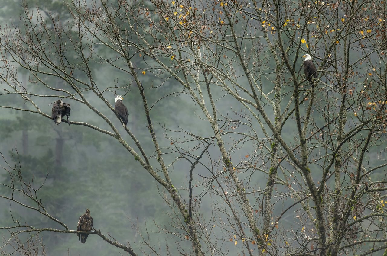 Close-Up Of Eagles Perching In Tree