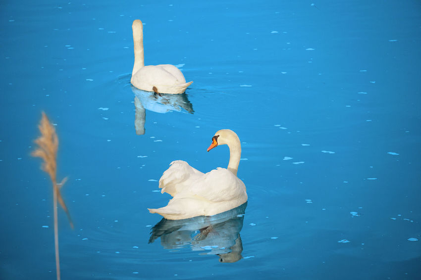 Animals In The Wild Nature Observing Nature Peace And Quiet Swan Swimming Water Wildlife Zoology