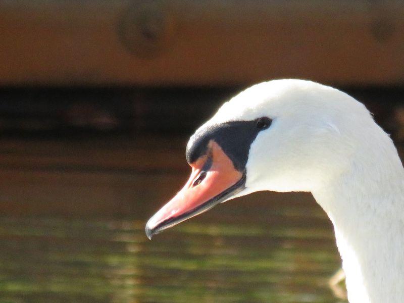 Swan close up headshot side view birdwatching beauty in nature focus on the foreground birds of EyeEm Animal Wildlife Animal Themes One Animal Animal Body Part Beak No People