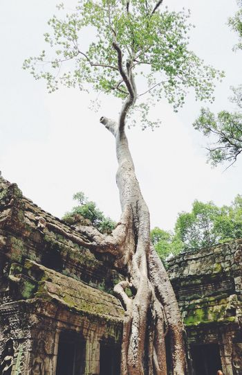 Ancient Ancient Civilization Angkor Wat Architecture Beauty In Nature Branch Building Exterior Built Structure Cambodia Clear Sky Day Growth History Low Angle View Nature No People Old Ruin Outdoors Sky Statue Travel Destinations Tree Tree Trunk