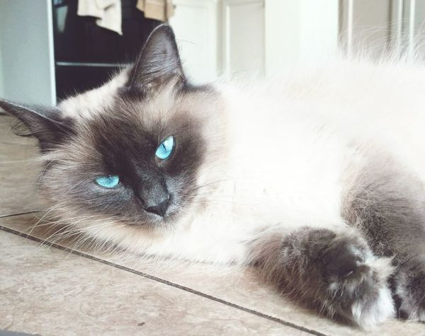 Domestic Cat Pets Feline Domestic Animals Animal Themes One Animal Whisker Indoors  No People Mammal Portrait Looking At Camera Sitting Day Siamese Cat Kitten BlueEyes