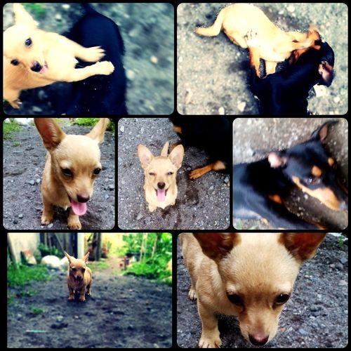 Pets Pet Petstagram Petlovers Dogs Dog Dogstagram Doglovers Dogoftheday Cihuahua