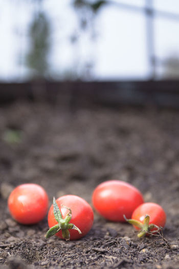 cherry tomatoes on ground Food Healthy Eating Tomato Vegetable Wellbeing Freshness Agriculture Red Day Close-up Nature Ripe Group Of Objects Plant Organic Surface Level Vertical Cherry Tomatoes Delicious Juicy Edible  Nutrition Cultivate Collect Blurred Background