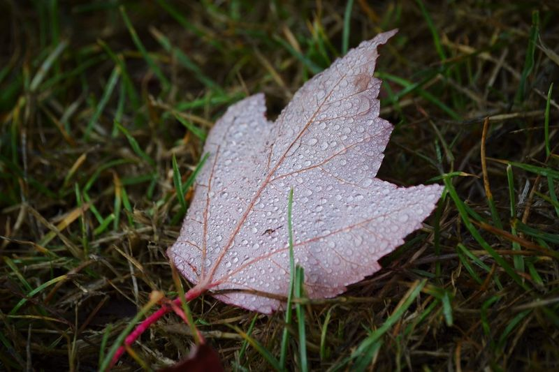 Leaf Season  Autumn Change Dry Close-up Weather Drop Wet Leaf Vein Water Cold Temperature Nature Frozen Fragility Dew Maple Leaf Natural Condition Day Field