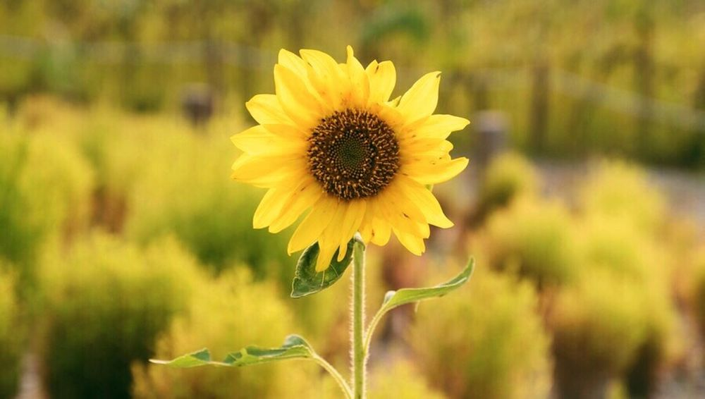 Sunflower Flower Yellow Growth Petal Plant Nature Fragility Flower Head Beauty In Nature Blooming Focus On Foreground Freshness Day Close-up Outdoors No People