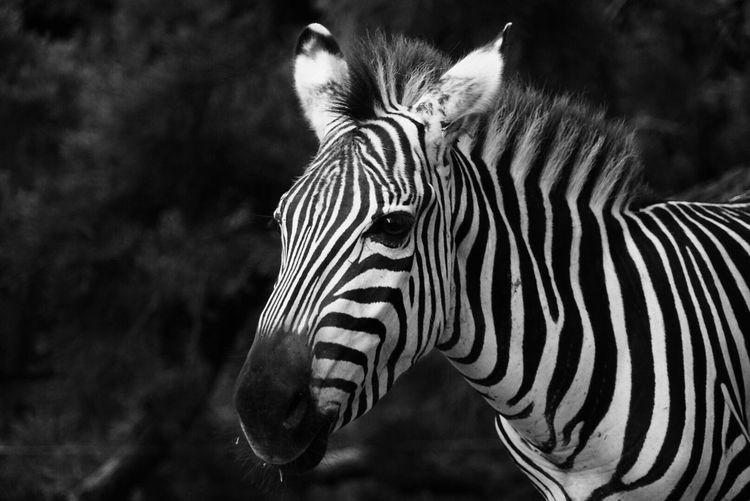 Portrait of zebra standing outdoors