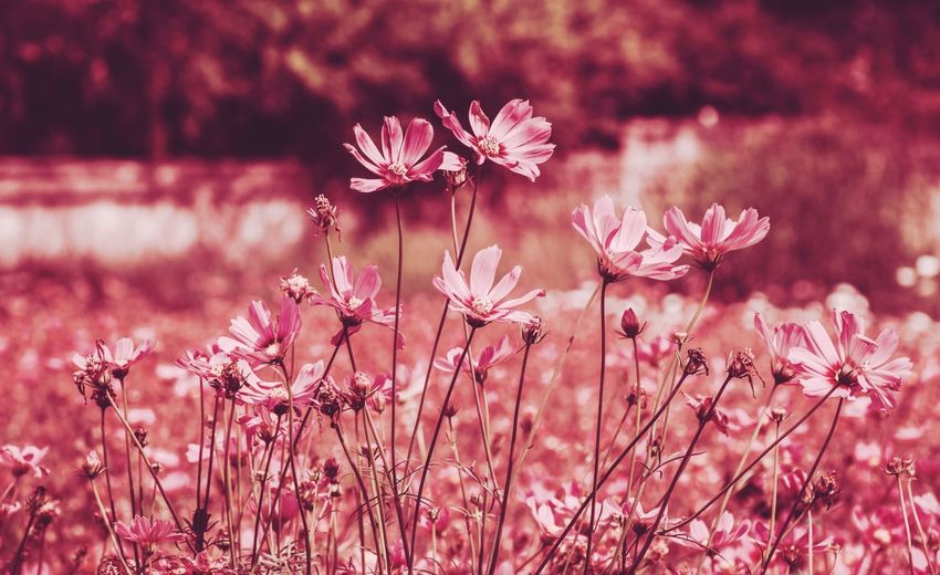 Vintage Flower Autumn Nature Nature Photography EyeEm Best Shots EyeEmNewHere EyeEm Nature Lover Nature_collection Flower Head Flower Springtime Pink Color Lake Pastel Colored Blossom Tree Close-up In Bloom Pollen Cherry Blossom Cosmos Flower Blooming