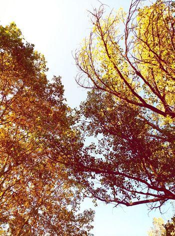 Tardor Nature Tree Beauty In Nature Tardor/Autumn Autumn🍁🍁🍁 Nature_perfection Treescollection Tree And Sky Trees Naturelovers Leaves🌿 Leaves 🍁 Leaves And Sky Tree_collection  Lightofthesun