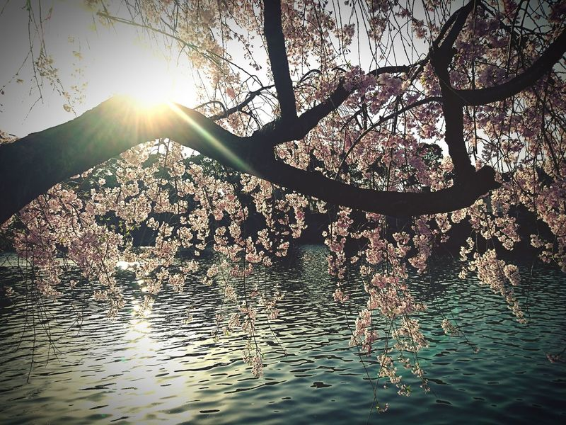 #桜 #cherryblossom #flower  Water Tree Sunlight Silhouette Refraction Rippled Branch Sky