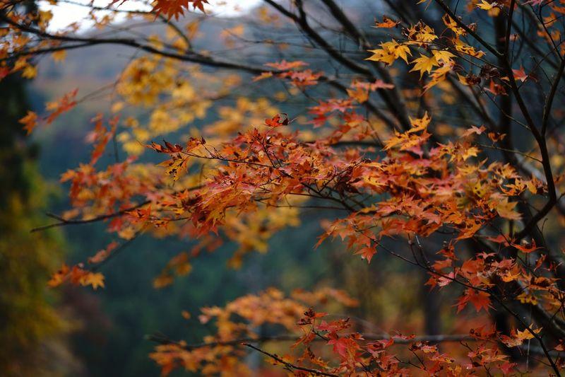紅葉 Autumn Plant Part Leaf Tree Change Plant Branch Orange Color Nature Beauty In Nature Day Outdoors Maple Tree Focus On Foreground Water Land Maple Leaf Tranquility No People Growth