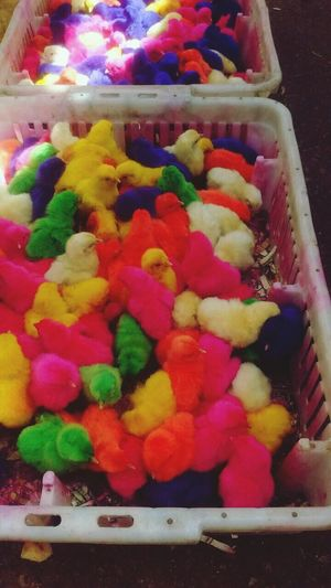 ChickenColors FeiraLivreSergipe Pintinho Amarelinho Azul Rosa Verde Também