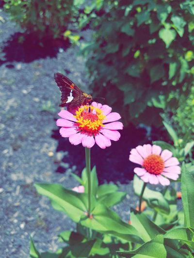 Perfect place at the perfect time ~ Flower Butterfly - Insect Insect Nature Plant Outdoors Flower Head Pollination Day Beauty In Nature Leaf Pink Color First Eyeem Photo