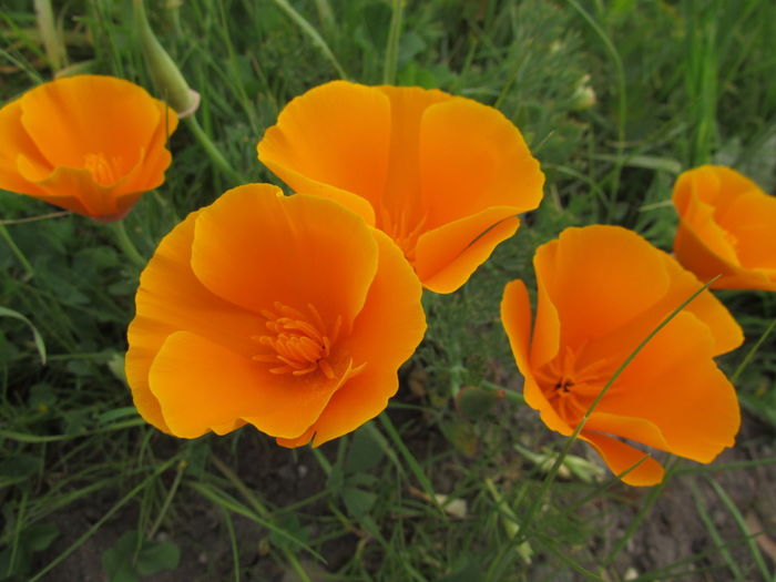 Californian Poppy Beauty In Nature Californian Poppies Close-up Flower Flower Head Flowering Plant Growth Nature Orange Color Outdoors Petal