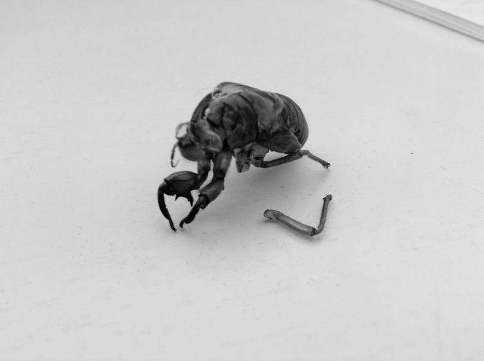 蝉の抜け殻の足が…(´;ω;`) 蝉 Castoff Skin Slough Bugs Bug Summer Summertime Summer ☀ Summer2015 Summer! ♥