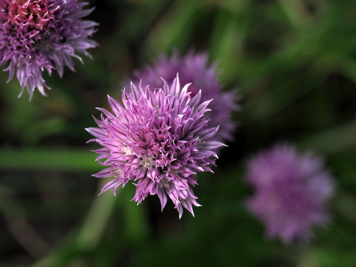 Beauty In Nature Close-up Day Flower Flower Head Flowering Plant Focus On Foreground Fragility Freshness Garden Garden Photography Growth Inflorescence Nature No People Onion Blossoms Onion Flower Outdoors Petal Pink Color Plant Purple Thistle Vulnerability