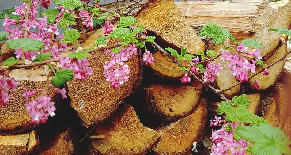 Backgrounds Flowers Firewood Patterns Lines And Shapes Spring Wood Trees Nature Warmth Red Flowering Currant
