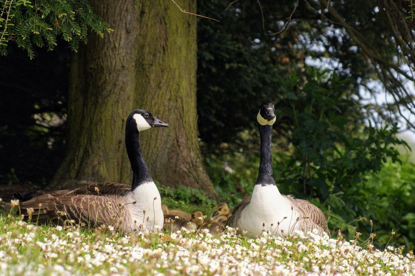 Animal Animal Family Animal Themes Animal Wildlife Animals In The Wild Beauty In Nature Bird Day Goose Group Of Animals Nature No People Outdoors Plant Selective Focus Tree Tree Trunk Two Animals Vertebrate Water