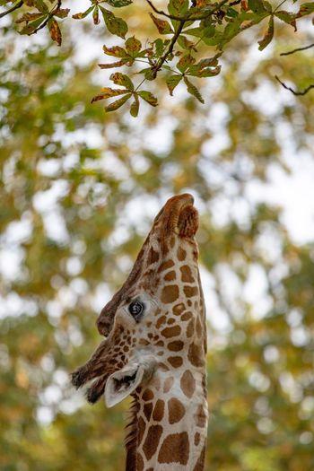 Close-up of giraffe reaching branch