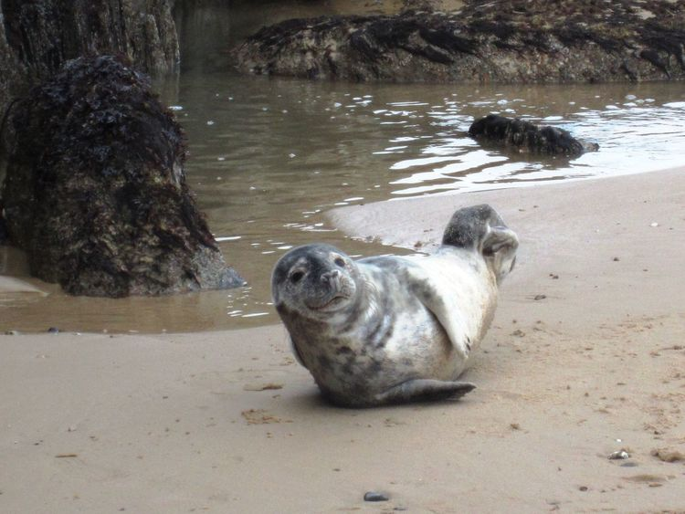 A beautiful alert young grey seal pup on a sandy beach in East Anglia in England by a rocky pool of water on a cold late Autumn day Grey Seal Roky Wildlife & Nature Animal Animal Themes Beach Close-up Day Flippers Mammal Natualbeuty Nature Naure No People One Animal Outdoors Rocky Pool Sandy Beach Sea Fur Sea Word Seal Seal Pup Seaside Wildlife Young Seal