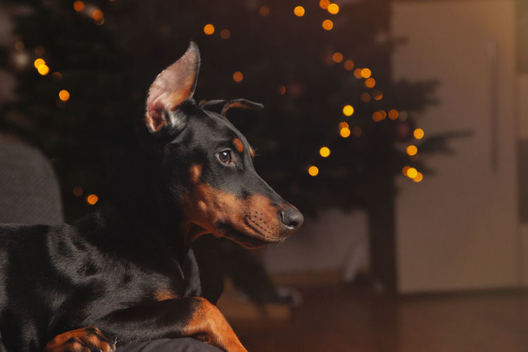 Dog looking away at home against christmas tree